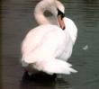 Mute_Swan_2