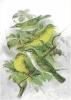 Olive_tree_Warbler
