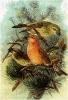 Parrot_Crossbill