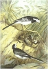 Pied_Wagtail