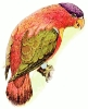purple_capped_Lory