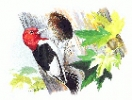 Red_Headed_Woodpecker