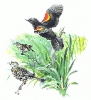 Red_Winged_Blackbird