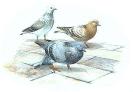 rock_dove_1