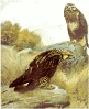 Rough_legged_Buzzard