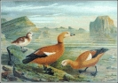 Ruddy_Shelduck