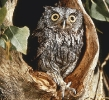 screech_owl