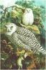 Snowy_Owl_2