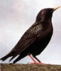 Starling_2