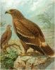 Steppe_Eagle