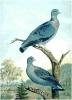 Stock_Dove