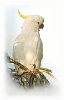 Sulphur_crested_cockatoo