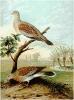 Turtle_Dove