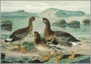 White_fronted_Goose