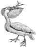 white_pelican_1