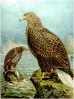 White_tailed_Eagle