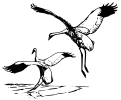 whooping_Crane_2