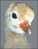 whooping_crane_chick