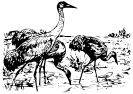 Whooping_Cranes_BW