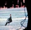 wild_turkey_2