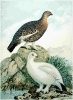 Willow_Grouse