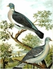 Wood_Pigeon__Ring_Dove