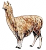 Alpaca_1