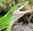 Anole_eating