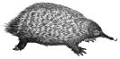 anteater_(spiney)