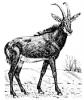antelope_(Sable)