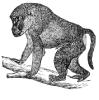 baboon_2