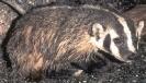 Badger_4