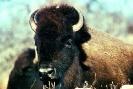 bison_3