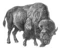 bison_BW