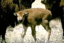 bison_calf