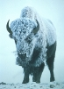 bison_in_storm