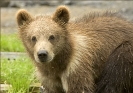 brown_bear_cub