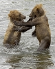 brown_bear_cubs