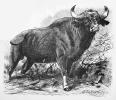 buffalo_(water)