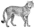 cheetah_2