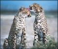 cheetah_grooming