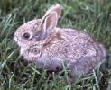cottontail_rabbit