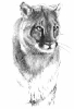 cougar_Felis_concolor