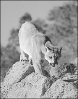 cougar_on_mountain_rocks