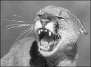 cougar_roaring