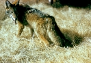Coyote_2