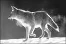 coyote_backlit_in_snow