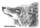 coyote_latin