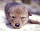 Coyote_pup