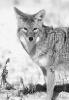 coyote_stare